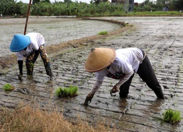 Dua petani di Klaten sedang menanam bibit padi