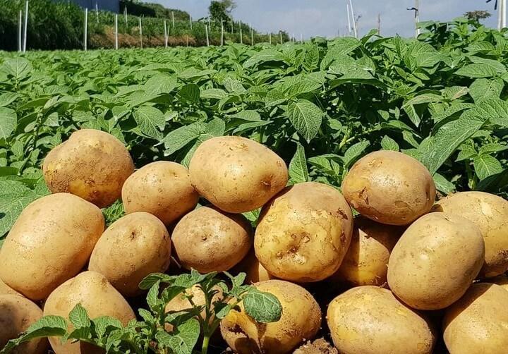 Kentang hasil kebun Agus Wibowo