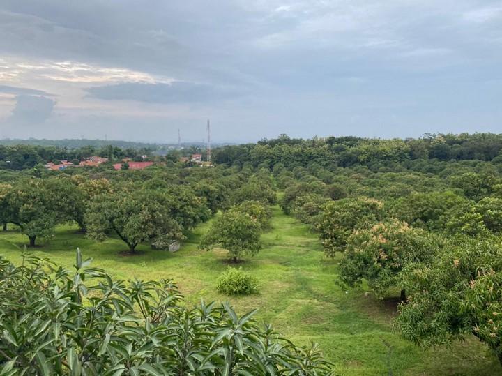 Kebun mangga gedong gincu